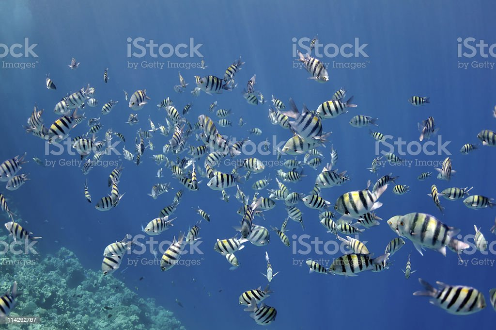 Coral reef and abudefduf fishes at the Red Sea royalty-free stock photo