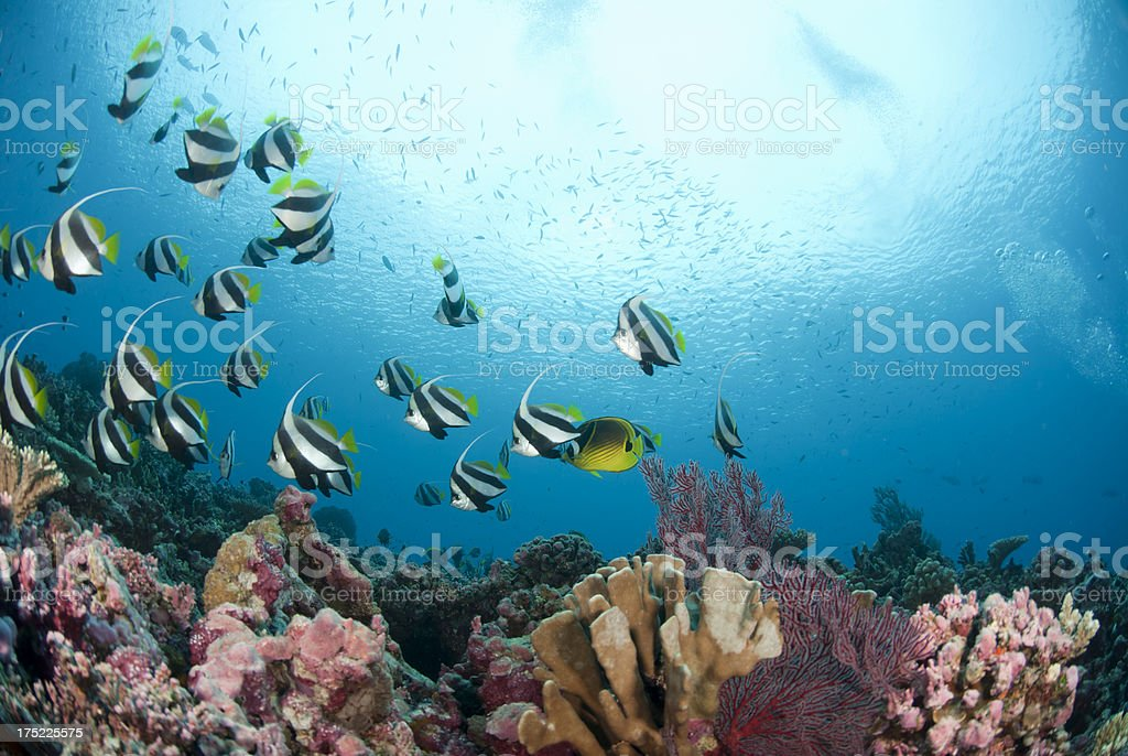 coral reef and banner fishes stock photo