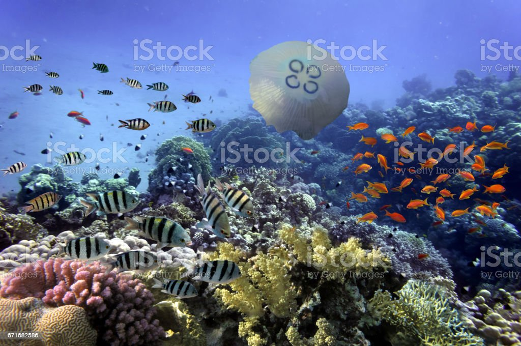Coral Reef and Tropical Fish iin the Red Sea stock photo