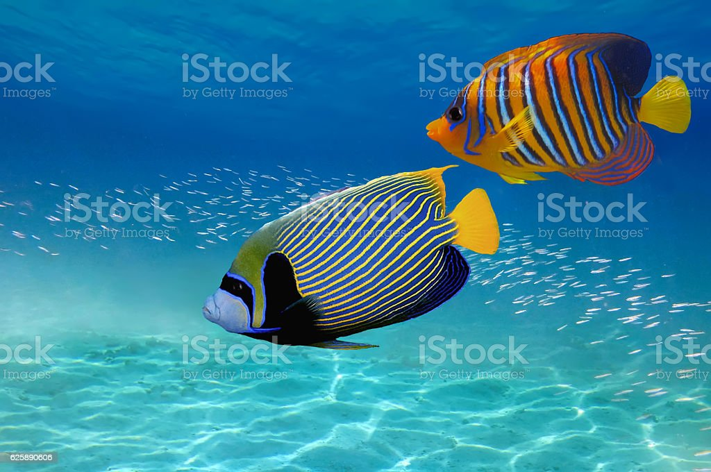 Coral Reef and Tropical Fish in the Red Sea stock photo