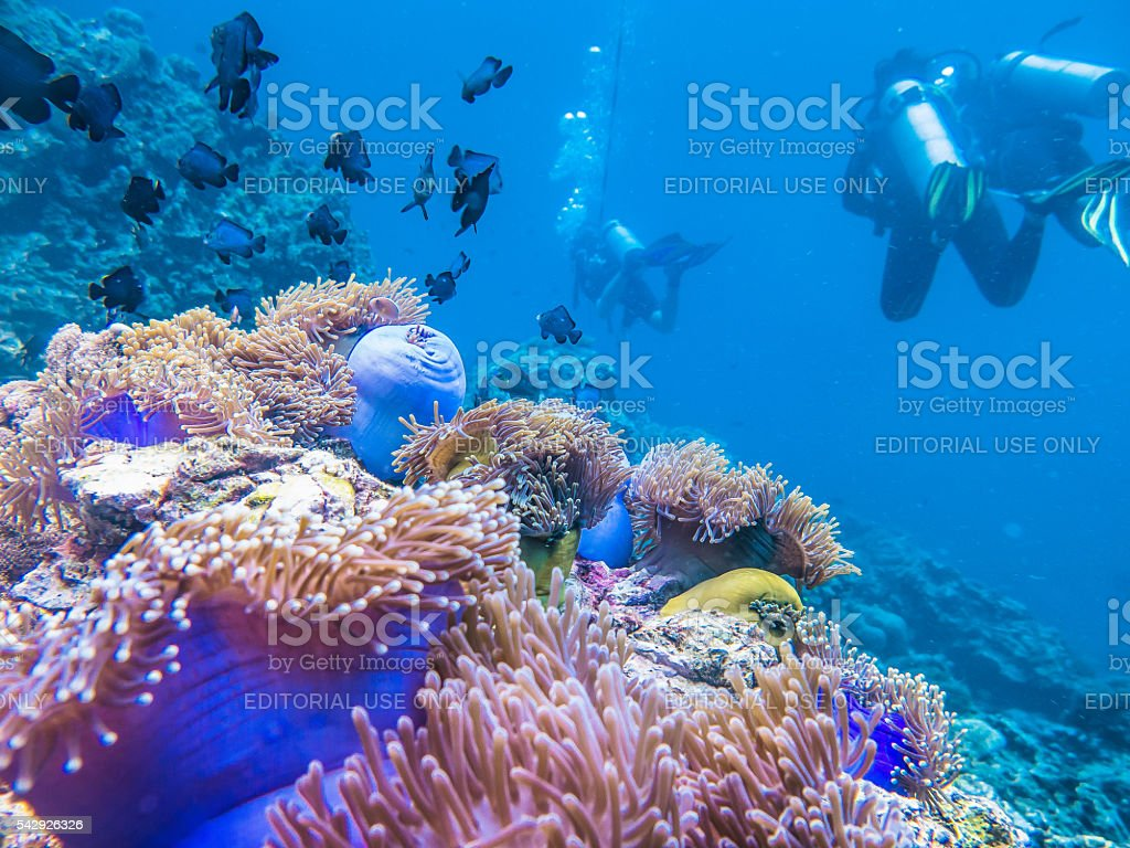 Coral Reef, Anemones, Fish and Scuba Divers stock photo