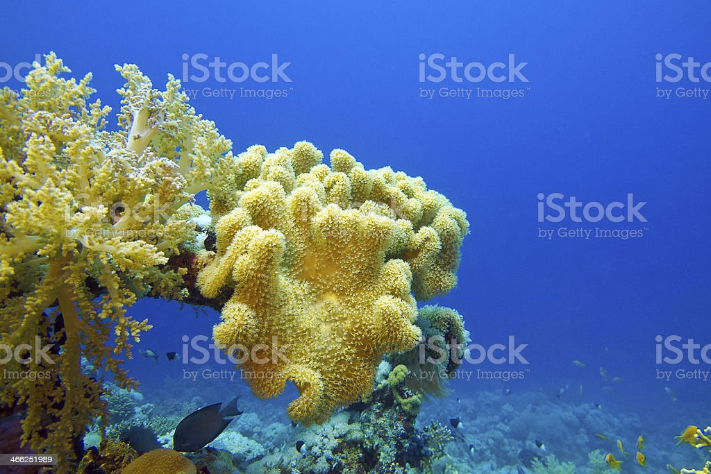 coral reef at the bottom of tropical sea royalty-free stock photo
