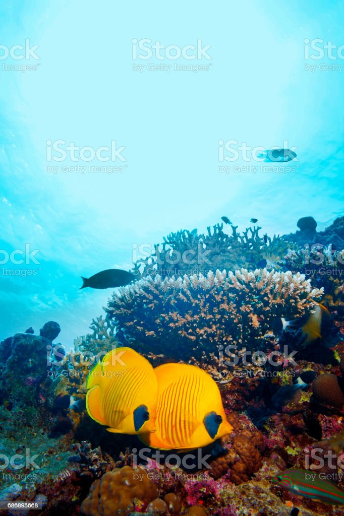 Coral reef  Butterflyfish Sea life red corals   Underwater  Scuba diver point of view  Red sea Nature & Wildlife stock photo