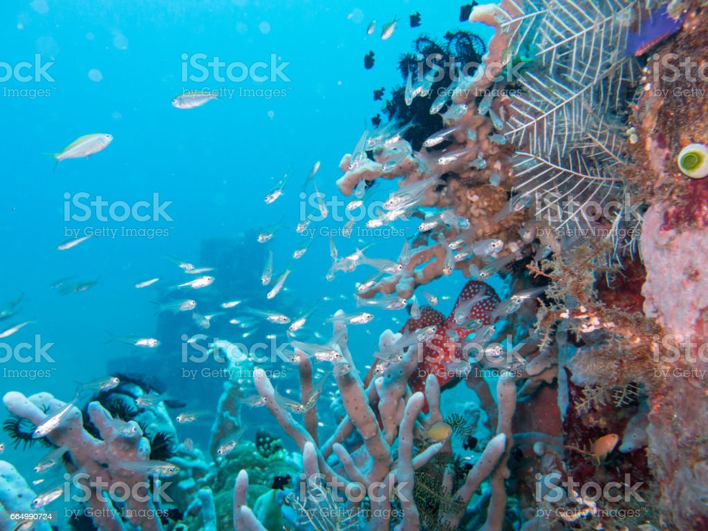 Coral Reef dive site known as The Pyramids, Javes Sea, Amed, Bali, Indonesia. stock photo