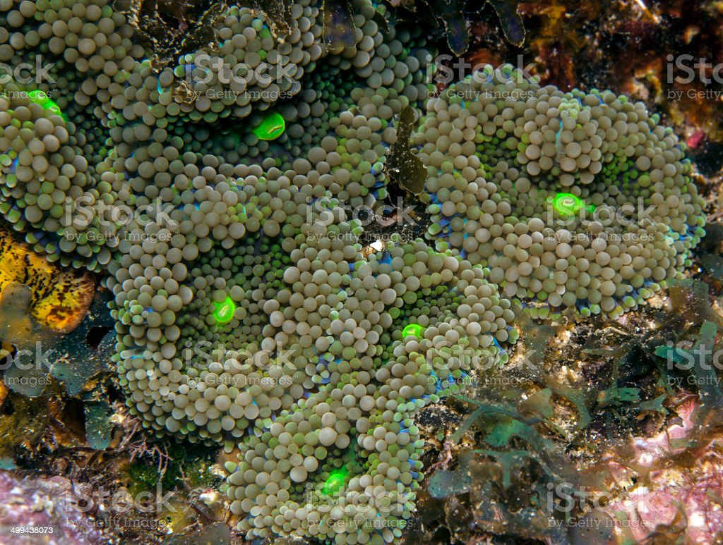 coral reef  Florida Corallimorphs stock photo