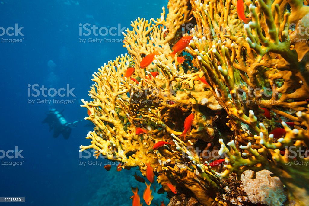 Coral reef   Orange Scalefin anthias fish and Fire coral stock photo