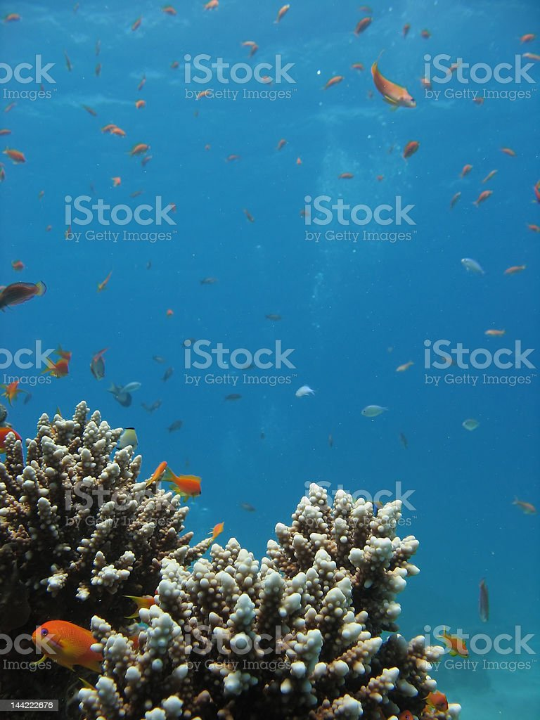 Coral Reef Scene royalty-free stock photo