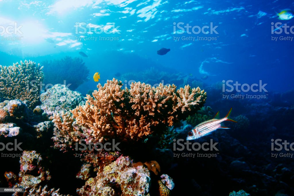 Coral reef   Sea life  corals   Underwater  Scuba diver point of view  Red sea Nature & Wildlife stock photo