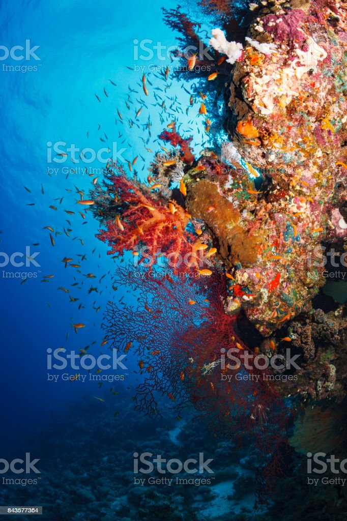 Coral reef  Sea life orange corals   Underwater  Scuba diver point of view  Red sea Nature & Wildlife stock photo
