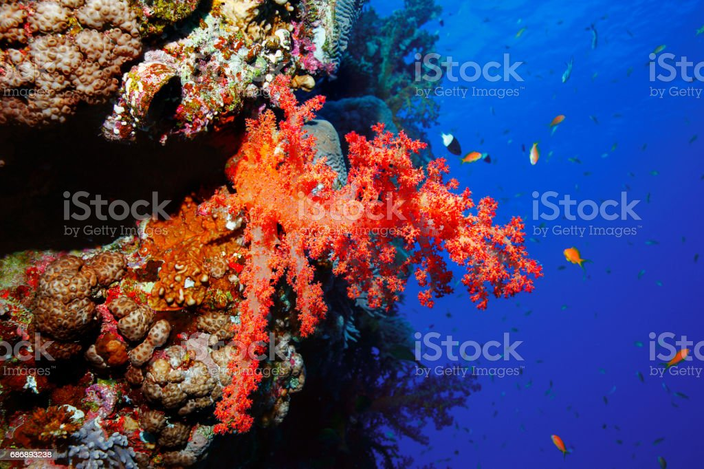 Coral reef  Sea life red corals   Underwater  Scuba diver point of view  Red sea Nature & Wildlife stock photo