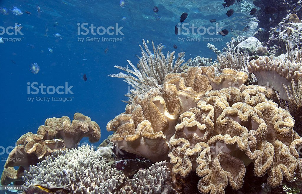 Coral Reef South Pacific royalty-free stock photo