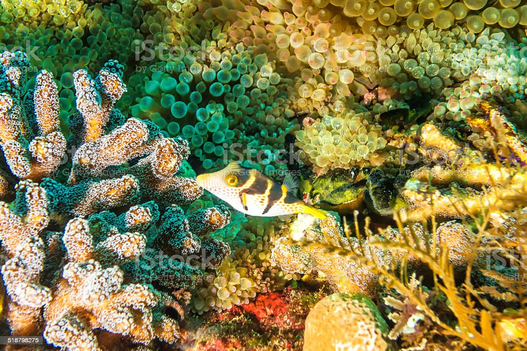 Coral reef with a red saddleback fish (amphiprion ephippium) stock photo