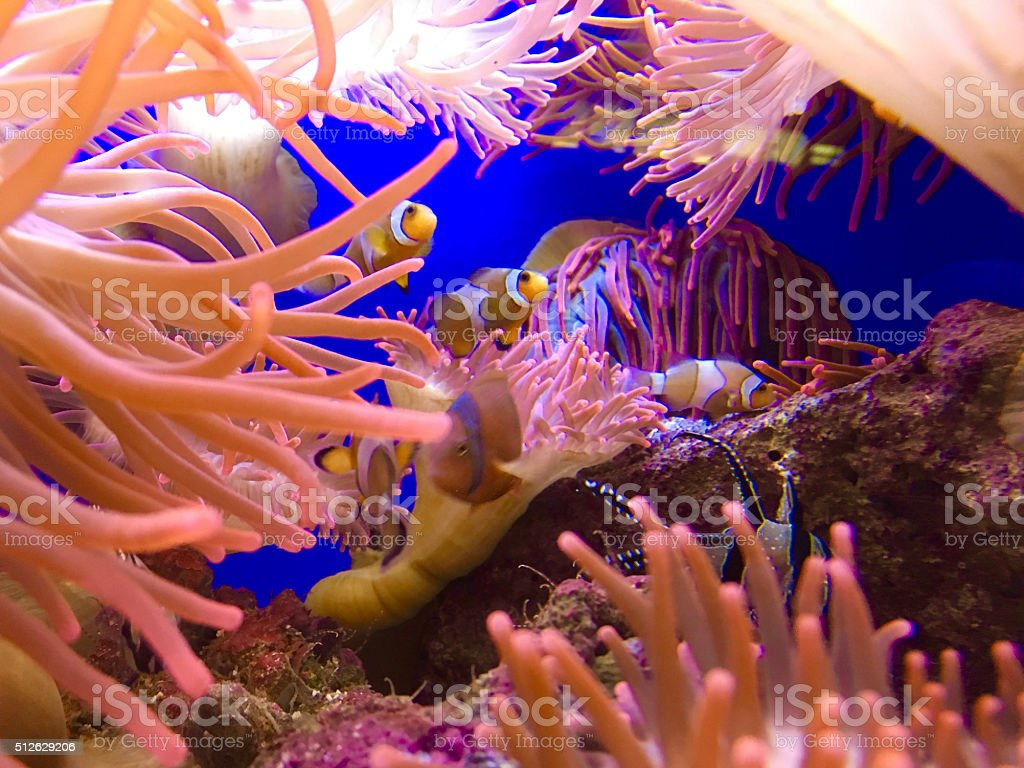 Coral reef with Cardinal Fish stock photo
