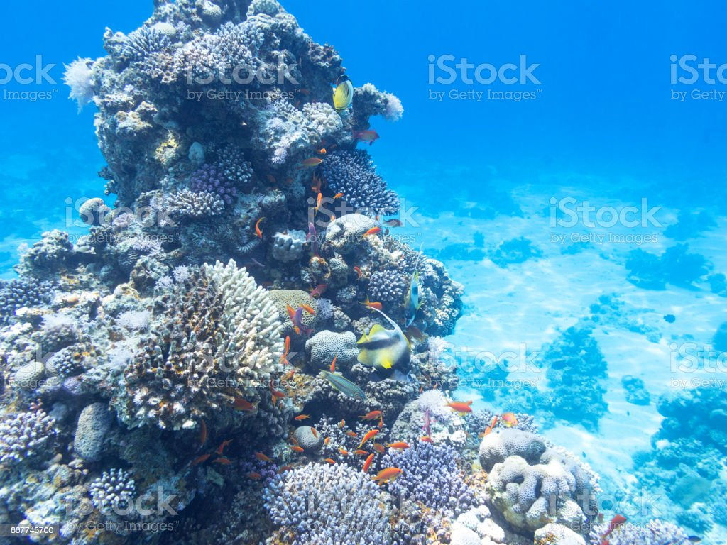 Coral reef with exotic fishes Anthias and Schooling bannerfish at the bottom of tropical sea, underwater stock photo