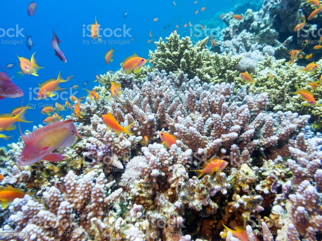 Coral reef with exotic fishes Anthias at the bottom of tropical sea, underwater stock photo