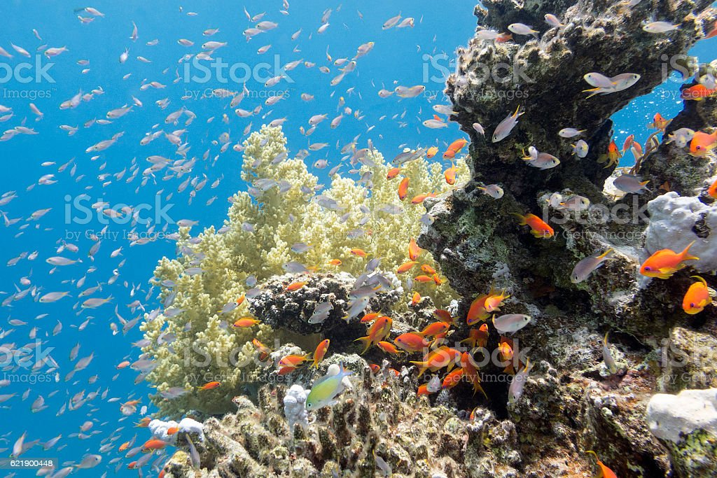 coral reef with exotic fishes Anthias in tropical sea, underwater stock photo