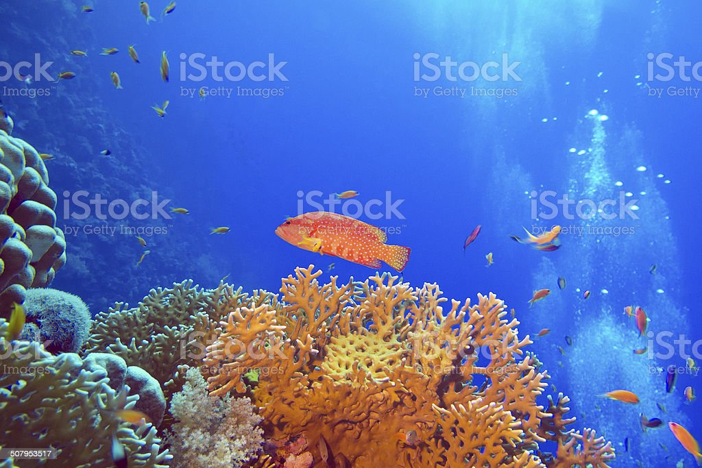 coral reef with red exotic fish cephalopholis in tropical sea stock photo