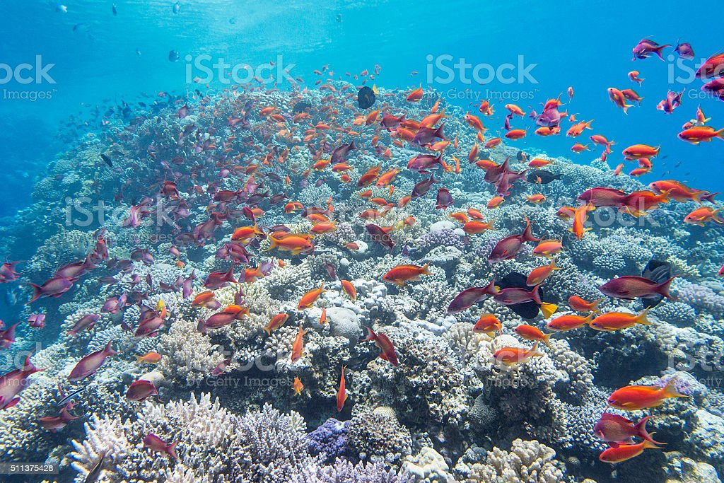 coral reef with shoal of  fish anthias in tropical sea stock photo