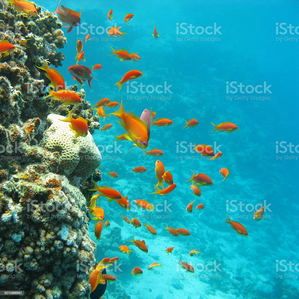 coral reef with shoal of fishes scalefin anthias, underwater stock photo