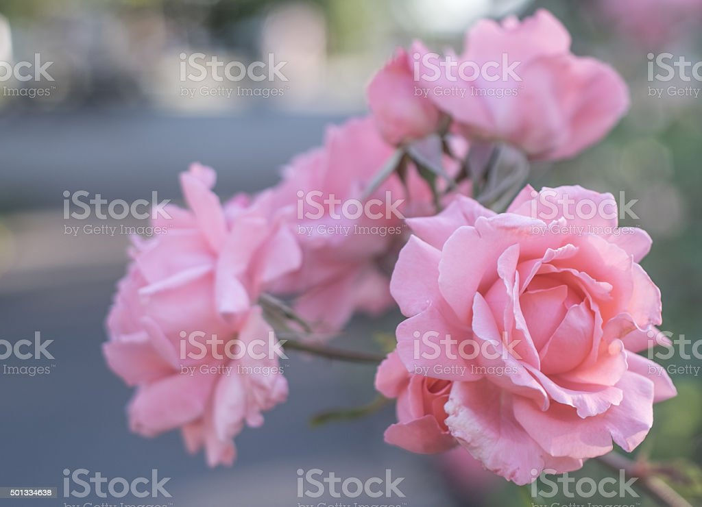 Coral roses against a blurred background royalty-free stock photo