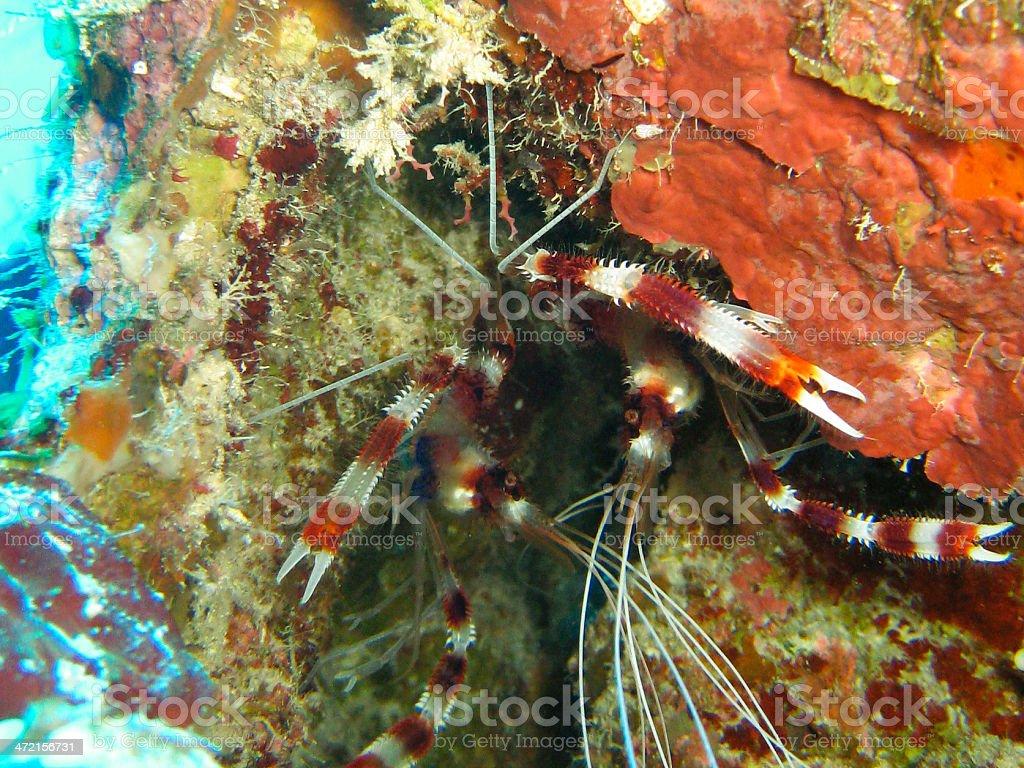 Coral Shrimp stock photo