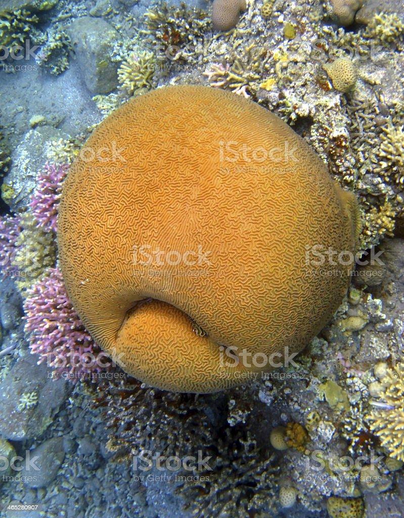 Coral smiley stock photo