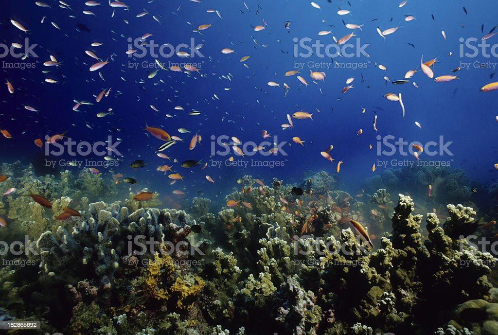 Coral Spawning stock photo