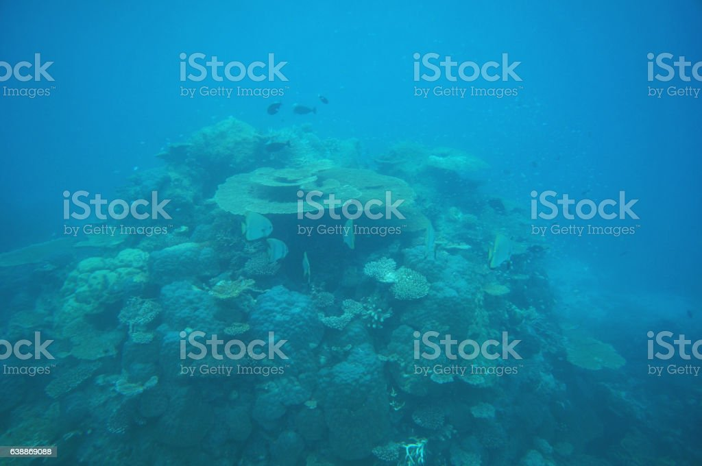 Coral stock with batfishes stock photo