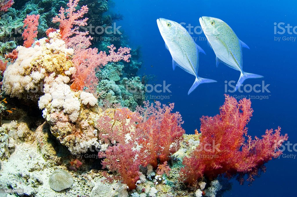 Coral swimmers stock photo