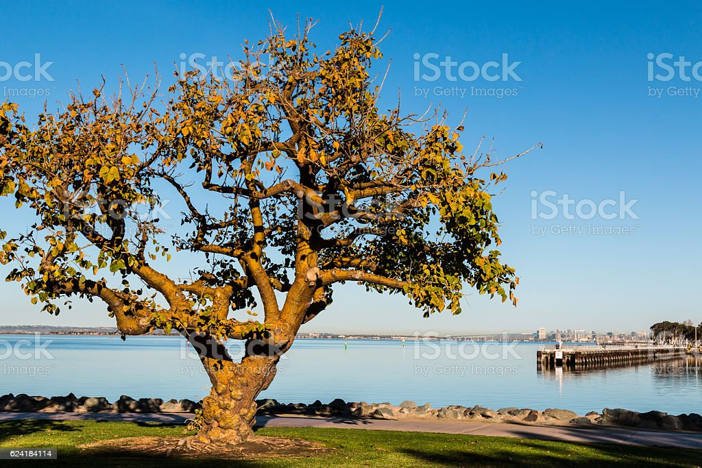 Coral Tree in Chula Vista with San Diego Bay stock photo