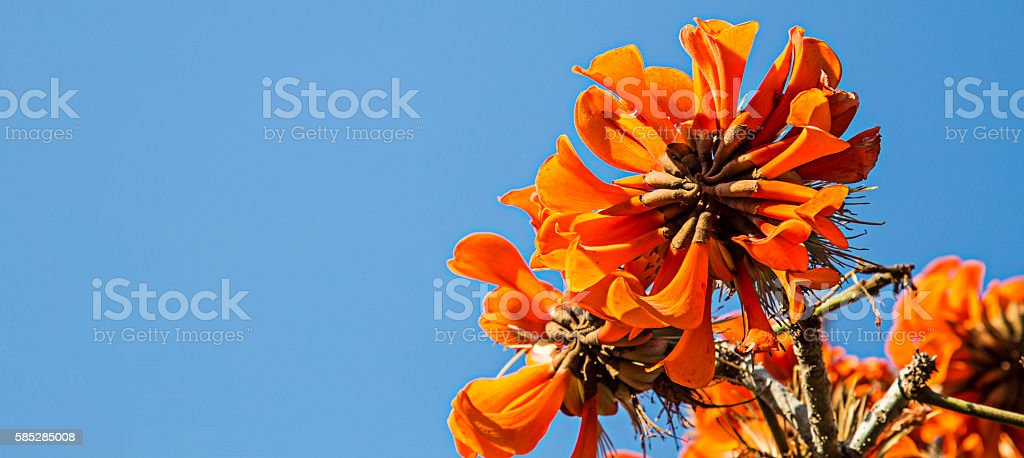 Coral Tree stock photo
