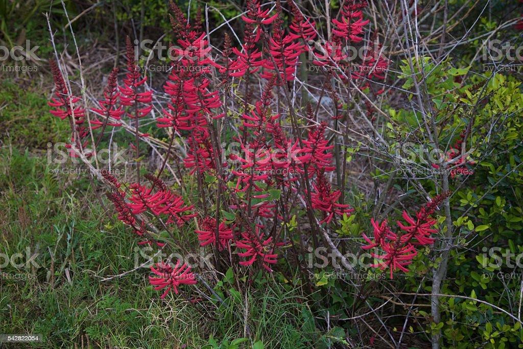 Coralbean stock photo