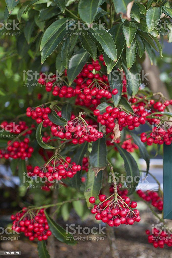 Coralberry stock photo