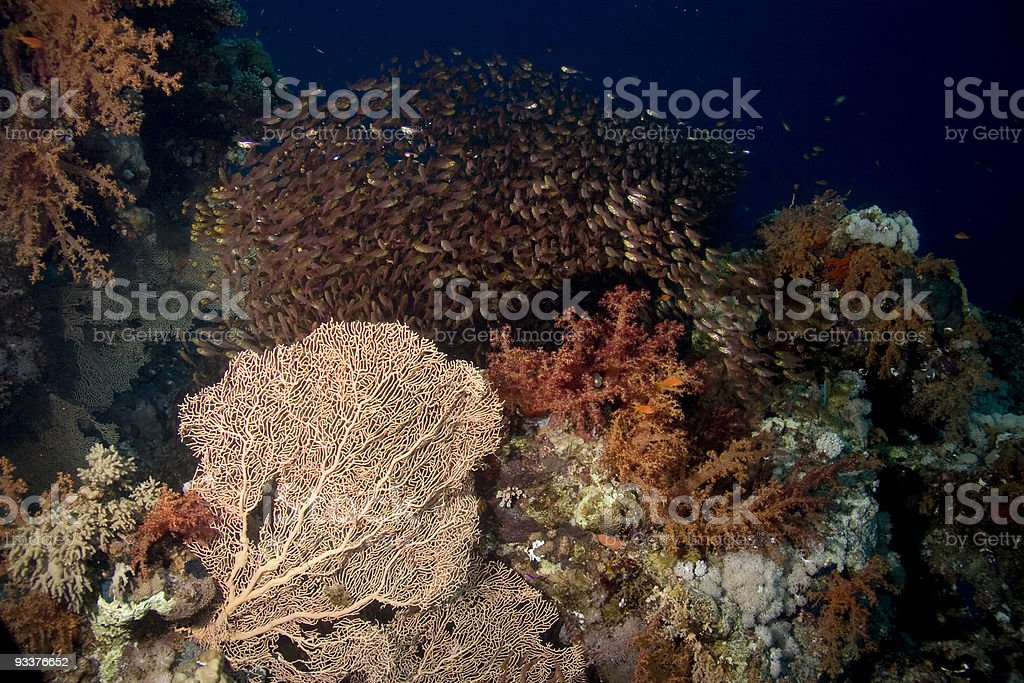 coralcomposition with golden sweepers royalty-free stock photo