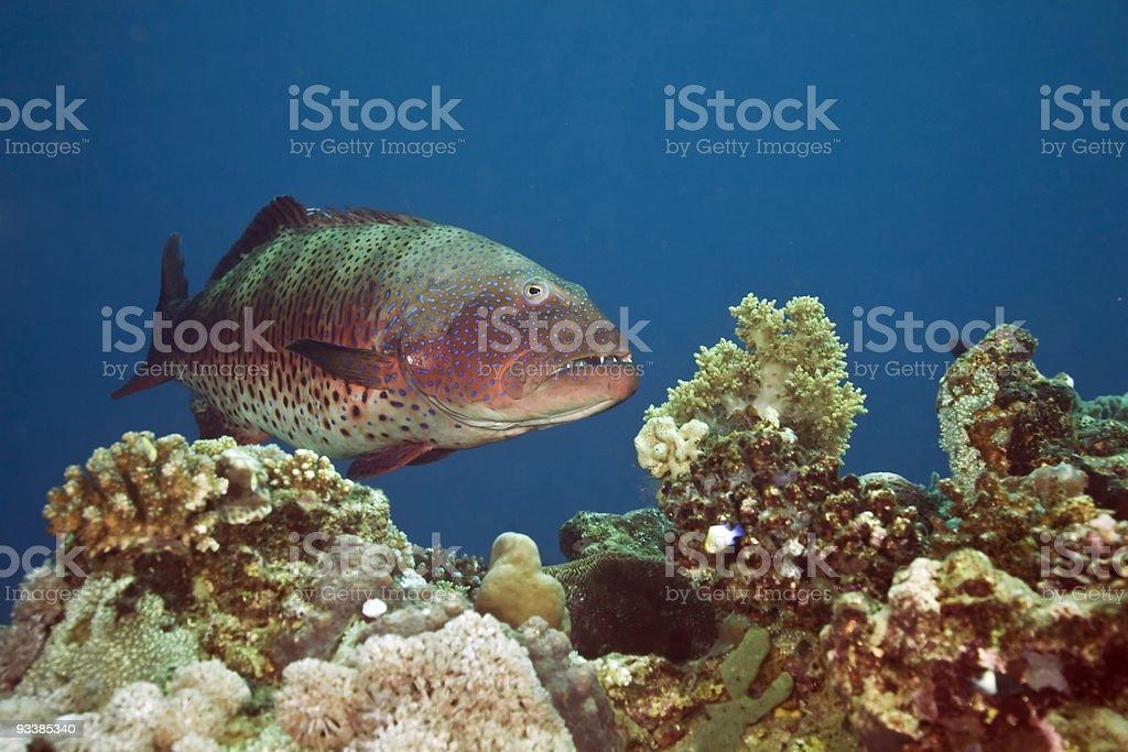 coralgrouper stock photo