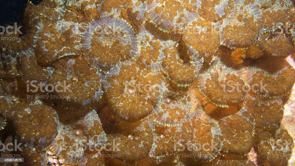 corallimorphs with parasitic flatworms stock photo