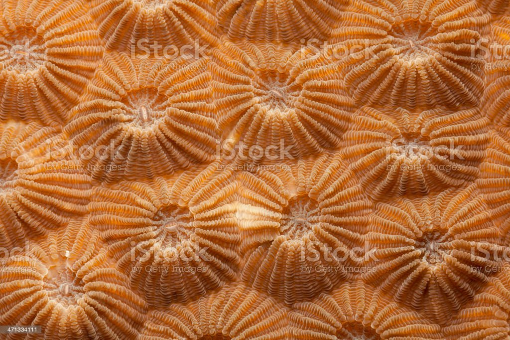Corallites of Diploastrea heliopora, Bunaken Island, North Sulawesi, Indonesia stock photo