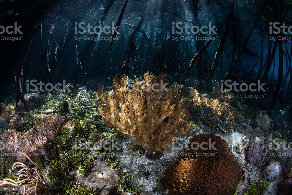 Corals and Mangrove Forest in Raja Ampat stock photo