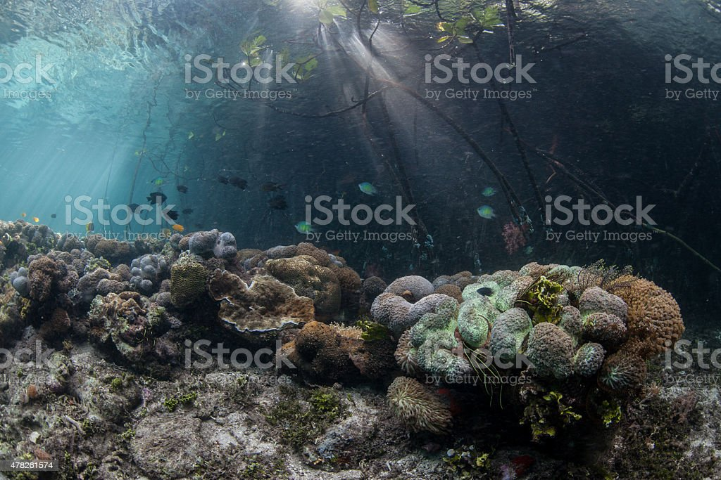 Corals on Edge of Mangrove stock photo