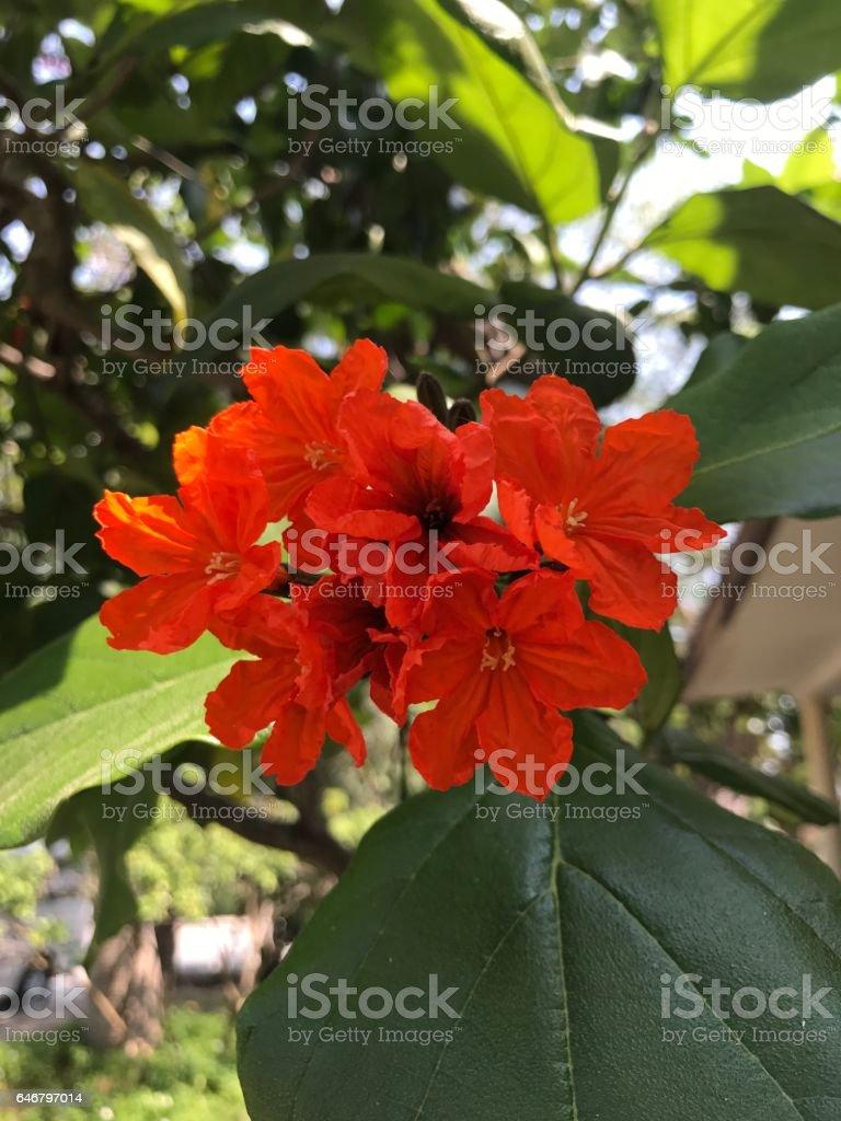 Cordia sebestena or Siricote or Geiger tree or Boraginaceae flowers. stock photo