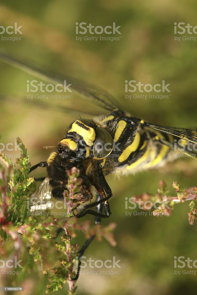 Cordulegaster boltonii - female Golden-ringed Dragonfly stock photo