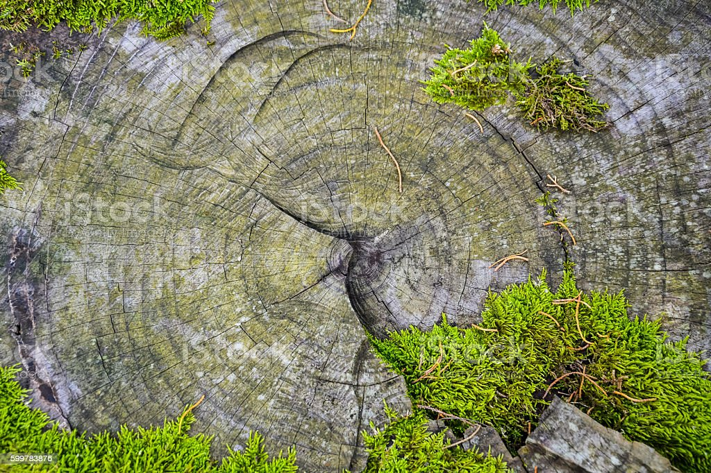 core of the old cut down tree, overgrown with moss stock photo