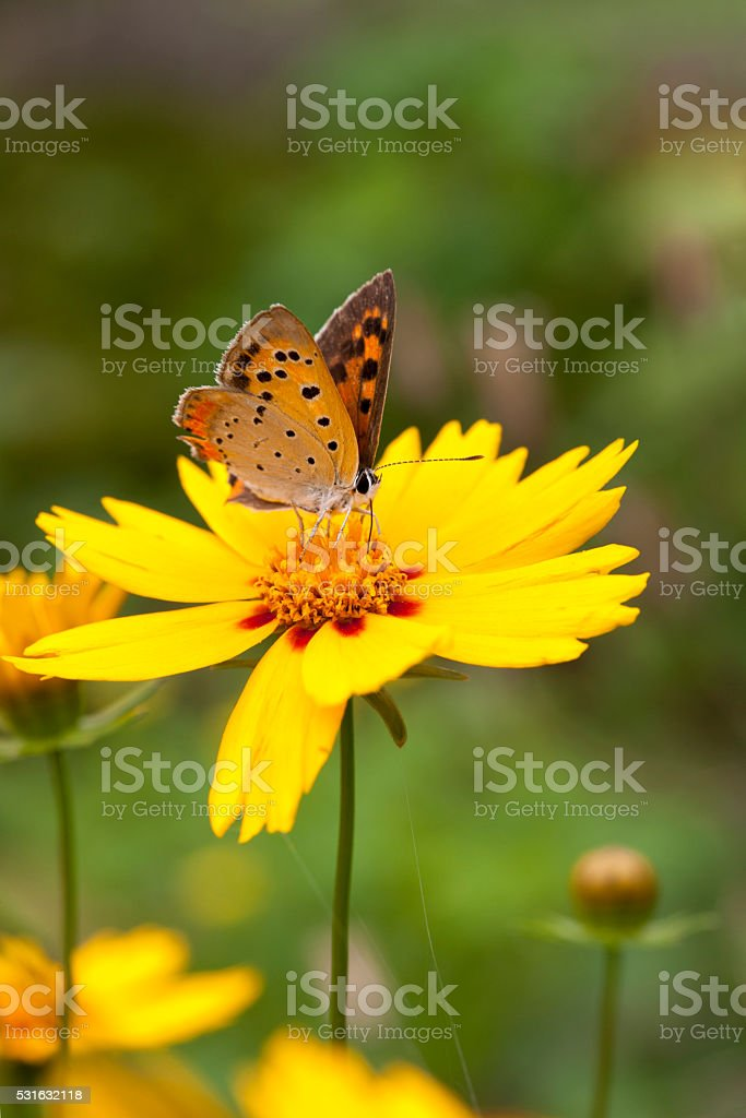 Coreopsis, butterfly stock photo