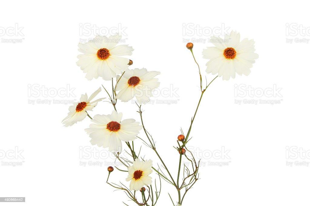 Coreopsis flowers stock photo