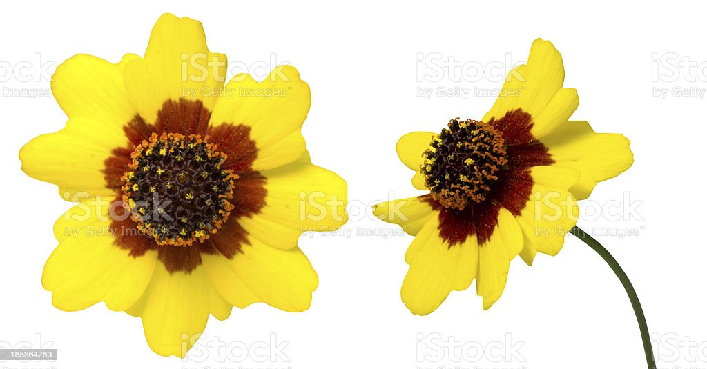 Coreopsis in a white background stock photo