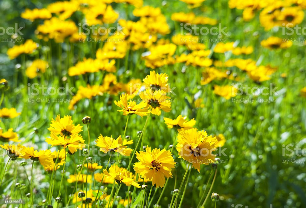 Coreopsis in Sunlight stock photo
