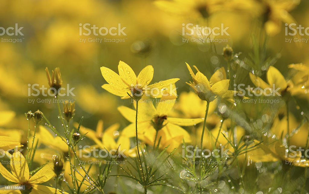 Coreopsis royalty-free stock photo