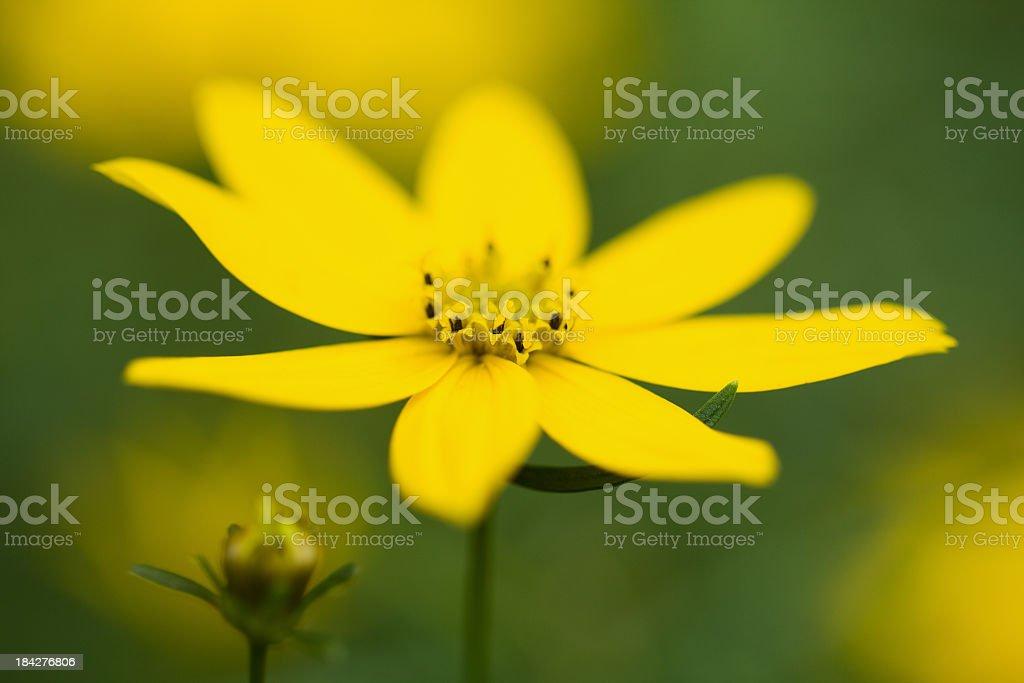 Coreopsis stock photo