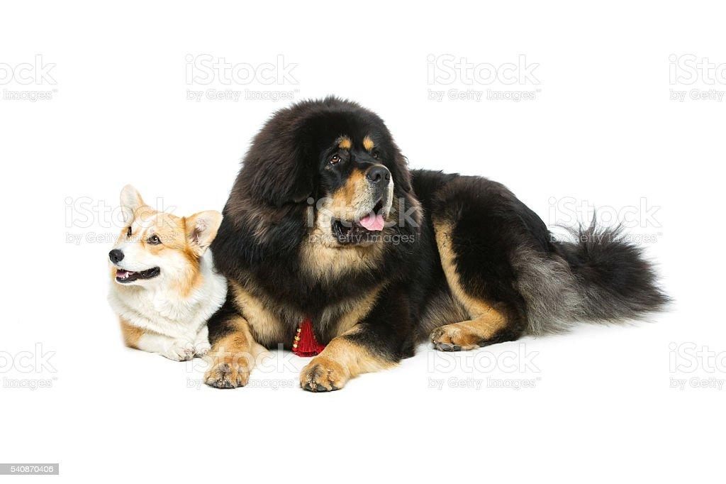 Corgi and mastiff dogs stock photo