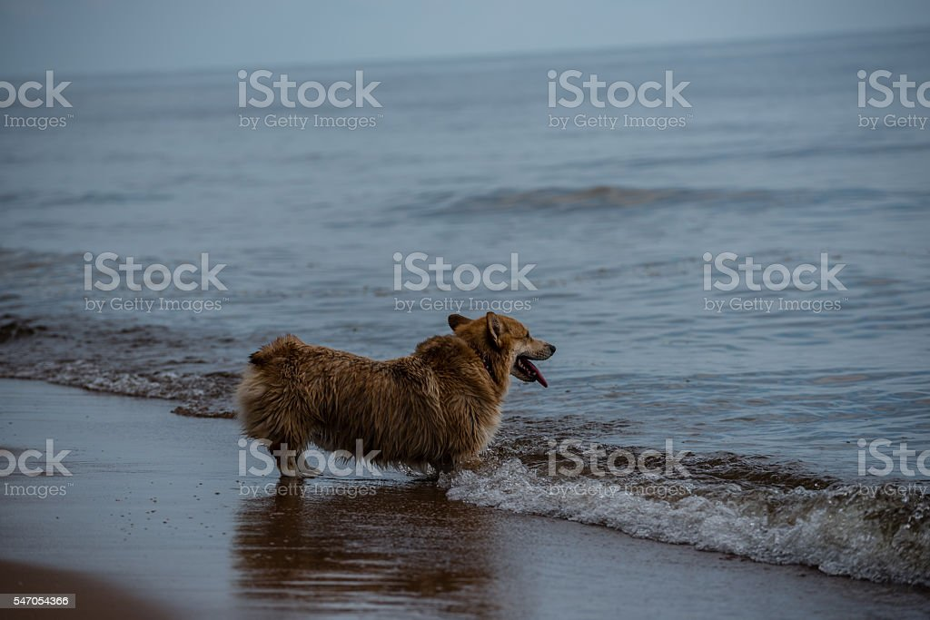 Corgy on the beach waiting for his master stock photo